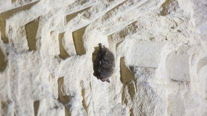 Vzw Natuurpunt telt opnieuw vleermuizen in de mergelgroeven van Riemst