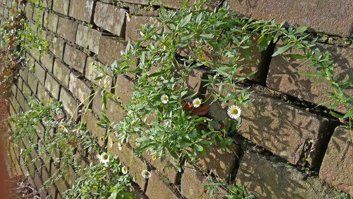 Muurfijnstraal groeit en bloeit zelfs in februari op de Wageningse stadsmuur.