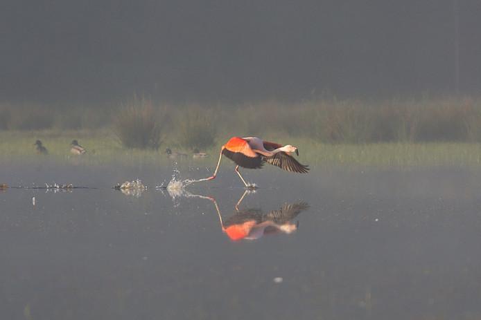 Een flamingo in het Zwillbrocker Venn, de noordelijkste broedplaats van de vogels in Europa.