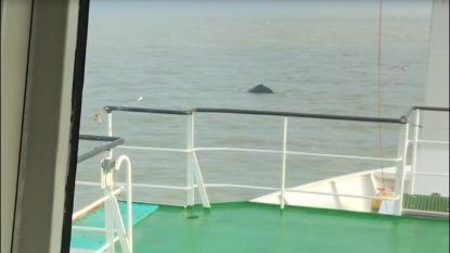 VIDEO. Bultrug opgemerkt voor kust van  Oostende