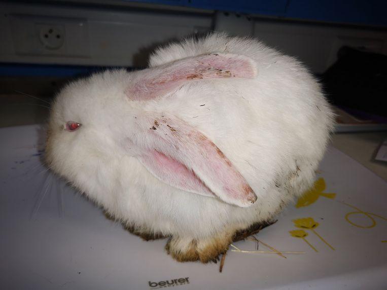 Eén van de verwaarloosde konijntjes dat werd binnengebracht in het VOC in Merelbeke en later overleed.