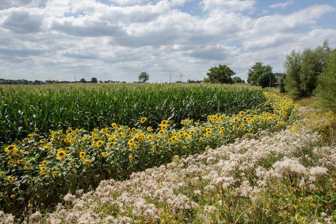 Een deel van zonnebloemenlint dat dwars door de gemeente Lochem loopt.