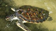 Zeeschildpadden eten meer plastic dan ooit tevoren