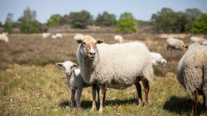 Honden maken meer schapendoden dan wolven