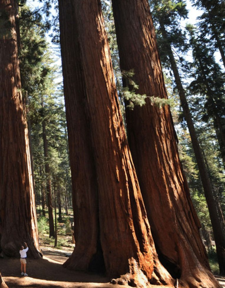 Archieffoto van een vrouw die in het Yosemitepark naast een reuzensequoia staat Beeld afp