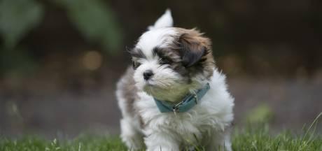 Doodgebeten pups gevonden in Helmond, baasje heeft haar 32 honden 'niet onder controle'