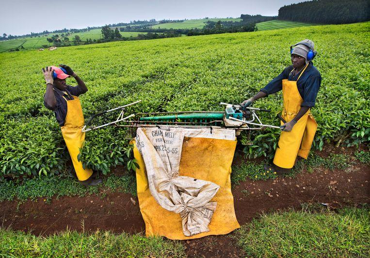 De theeplantage van Unilever in Kericho, Kenia. Beeld  Sven Torfinn/HH