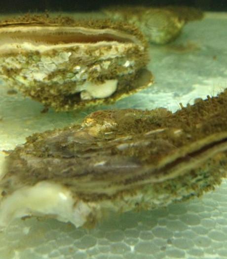 Visser haalt illegaal 667 kilo oesters uit Oosterschelde