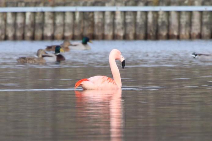 De flamingo voelt zich thuis tussen de eenden op Het Lageveld.