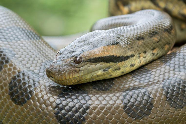 Anaconda's zijn levendbarend (archiefbeeld).