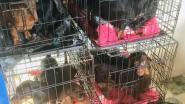 Politie valt binnen en vindt 60 (!) teckels in kleine kooien, kweker krijgt week om oplossing te vinden
