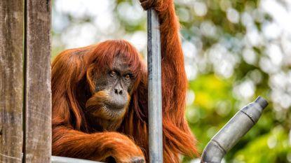 Puan, de oudste Sumatraanse  orang-oetan ter wereld, is overleden