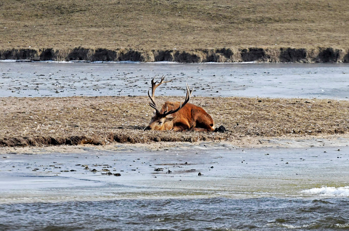 Grote grazers in de Oostvaardesrplassen hebben het zwaar door late ijswinter na een erg natte periode.