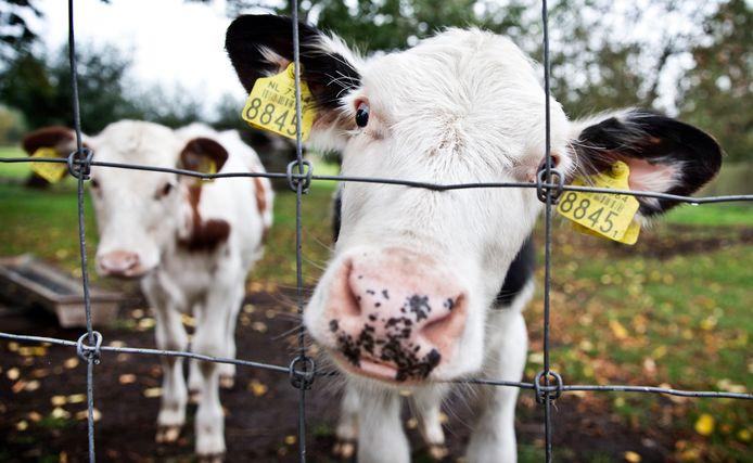 De agrarisch in het Vechtdal willen met Boert Bewust onder meer de koeien van (heel) dichtbij laten zien.