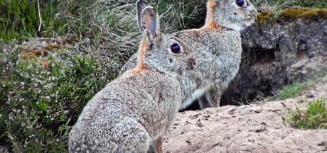 Met fretten en netten vangt Almelo wilde konijnen in het Schelfhorstpark