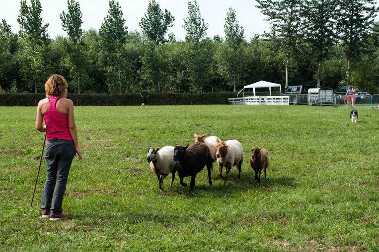 Ook schapendrijven kwam aan bod.