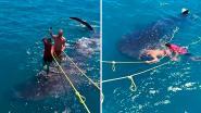 Woede om foto van toerist die 'surft' op rug bedreigde walvishaai