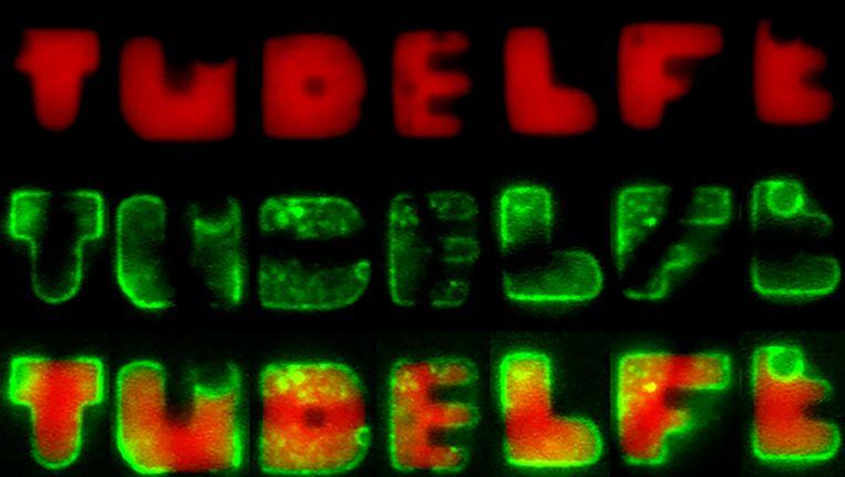 Het woord 'TUDELFT'waarvan elk van de zeven letters wordt gevormd door een E.-coli-bacterie, gezien door de microscoop. Beeld TU Delft