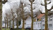 Oudenaarde wil dertig historische bomen uitspelen als toeristische troef