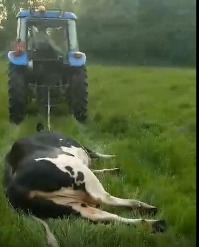 De eigenaar sleepte de koe nog tientallen meters verder met zijn tractor.