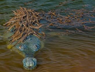Plichtsbewuste krokodil wacht geduldig tot 100-tal jongen op zijn rug zijn geklauterd om rivier over te steken