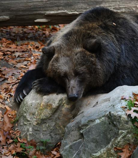 Eikels en warm najaar houden beren in Rhenen uit winterslaap
