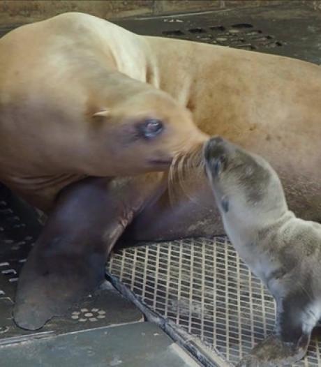 Dierenleed in Beekse Bergen: pasgeboren zeeleeuwtje redt het niet