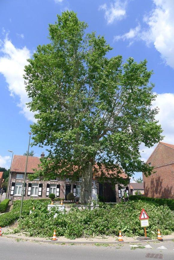 De plataan aan de kerk van Glabbeek.