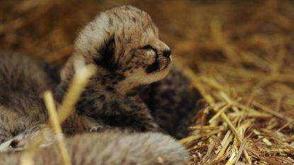 Schattig! Olmense Zoo toont pasgeboren welpjes