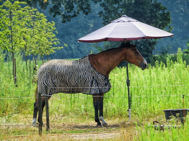Dit paard kon in ieder geval (deels) in de schaduw staan met dank aan een parasol.  Beeld Cristel Vercammen