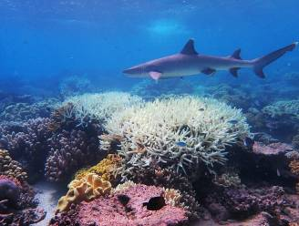 Helft koralen in Great Barrier Reef verdwenen
