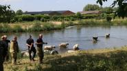 Koeien ontsnappen om te gaan pootjebaden in gracht naast Drijdijk