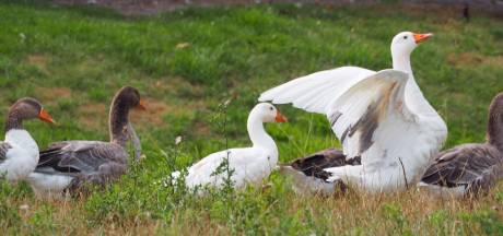 'Te dikke ganzen' in Strijen bedreigd met 'horecadood'