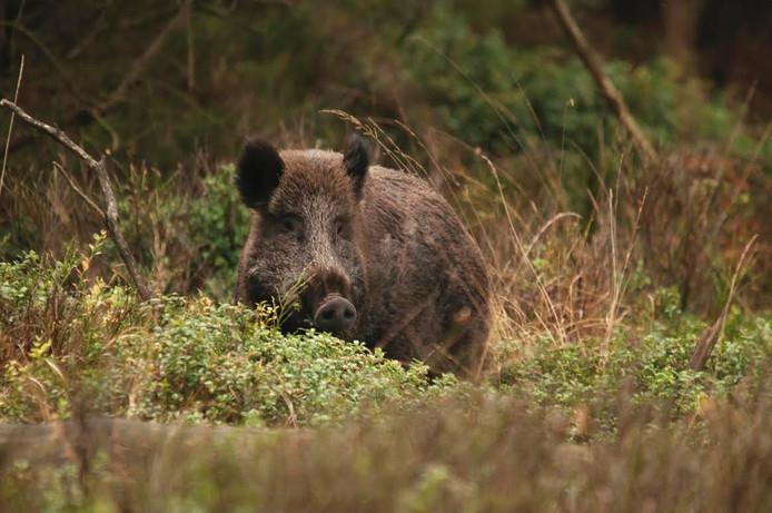 De kans is groot dat je tijdens de wildobservatiewandeling in Heerde de daar levende edelherten en wilde zwijnen ziet.