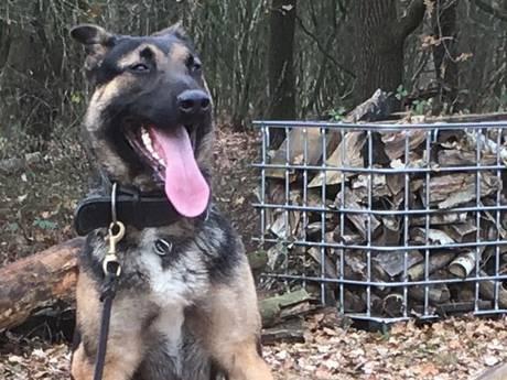 Video: kijk hoe politiehond Battje zijn tanden in een inbreker zet!