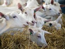 Speciale geitenroute tijdens vakbeurs voor veehouders in Evenementenhal Gorinchem