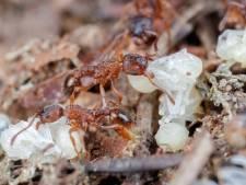 Elf nieuwe inheemse mierensoorten ontdekt