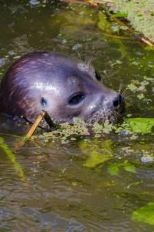 Emiel en zijn vrienden spotten de zeehond bij Maurik: 'We geloofden onze ogen niet'