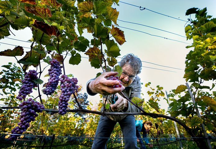 Soerendonk ED2020 6784 Druivenoogst op wijndomein Zurrick