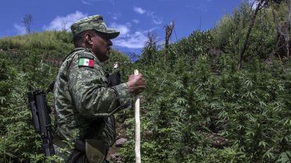 Mexico plant legalisering van cannabis in strijd tegen bendegeweld