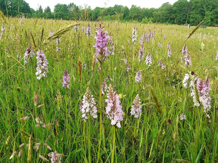 Een ouderwets hooiland vol met gevlekte orchissen.
