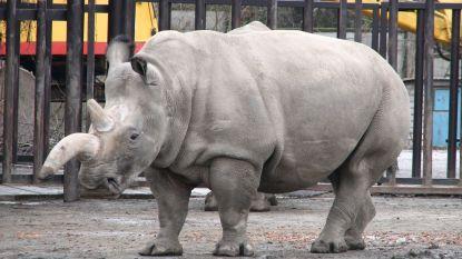 Wacht deze zes prachtige dieren hetzelfde lot als de noordelijke witte neushoorn?