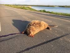 Boswachter Biesbosch: Slachtoffers van het asfalt