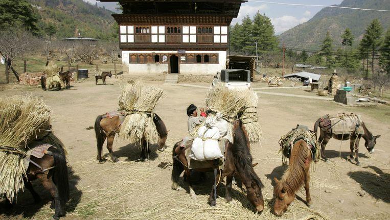 Een Bhutanese boer laadt stro op zijn muilezels. Beeld AFP