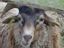 Herkauwende schapen blaten niet.
