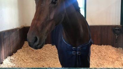 Saudische prinses koopt Belgisch paard