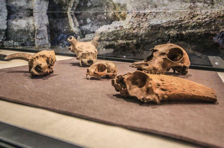 Enkele dierenschedels, waaronder een schedel van een kat.