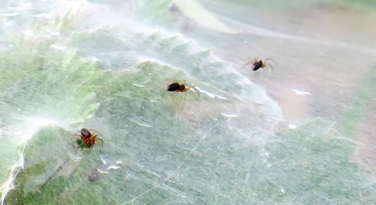 Met het blote oog lijken de spinnetjes op mieren.