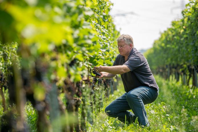 Erik Geerders, met Anita Hermsen eigenaar van de Fiere Wijnkakker, controleert de rode druiven in Zutphen.