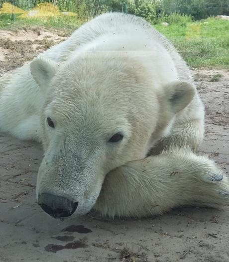 Zweten voor ijsberen in Dierenrijk in Nuenen